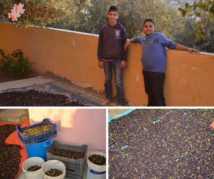 Olive harvesting experience