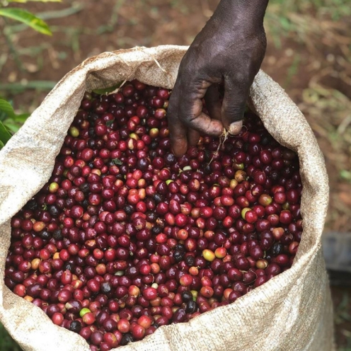 Harvested coffee beans